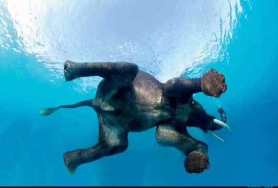 Swimming Elephant by Steve Bloom, Wildlife Photographer