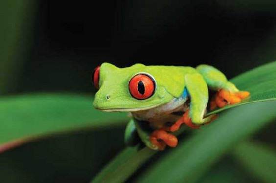 WDC Red Eyed Tree Frog - Interview with Macro Photographer Robert Thompson